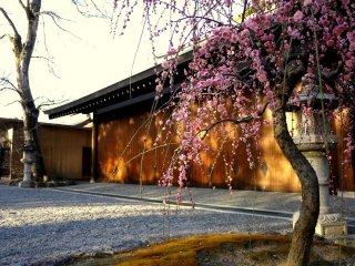 Слива во дворике при храме