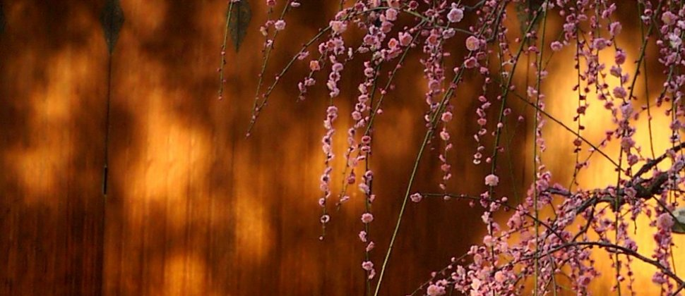 京都、城南宮の梅