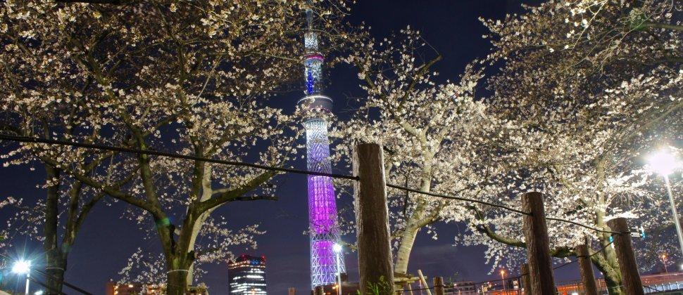Sakura Illumination at Sumida Park