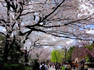 Les cerisiers en fleurs dans la journée sont colorés et gais