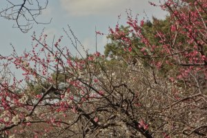 Different from cherry trees, plum blossoms can be in bloom for a few weeks.
