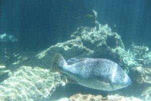 Nice to meet you! A fish comes to the window of the Kuroshio tank.