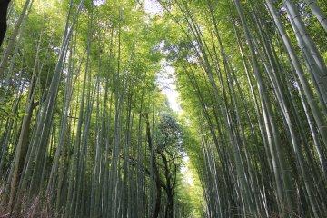A Floresta de Bambu de Arashiyama