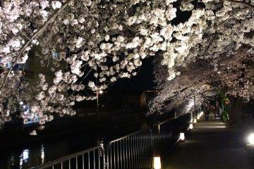 琵琶湖疏水河畔賞夜櫻