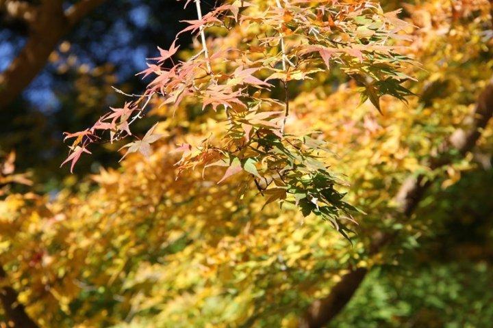 ใบไม้เปลี่ยนสีที่ ศาลเจ้าดาไซฟู