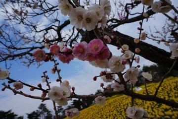 Hitachi Seaside Park: Suisen Garden