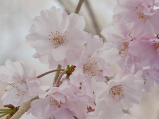 "These yaeshidarezakura, or ""weeping"" cherry blossoms, have far more petals, and more pink, than the standard five-petal blossom"