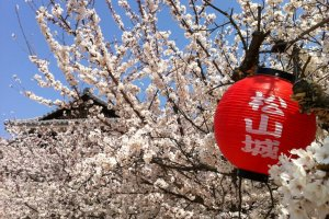 There's a lot of cherry blossom at Matsuyama Castle