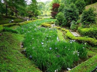 Les étangs d'iris couvrent une longue zone étroite