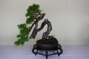 Bonsai & Suiseki at Meiji Shrine