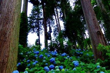 ดอกไฮเดรนเยียที่วัดไดอัน-เซนจิ