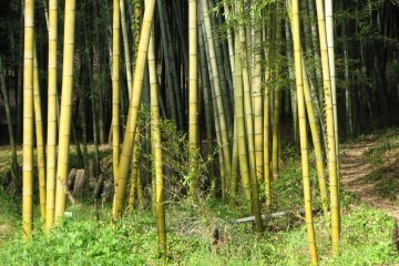 Bamboo Harvesting in Mabi Town