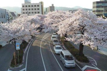 Hitachi City Sakura Matsuri