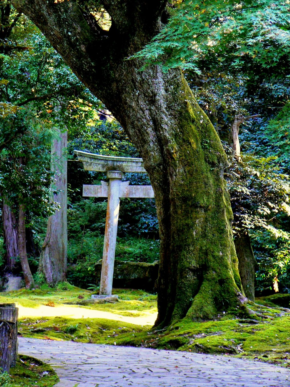 Stone torii behind a moss covered tree trunk