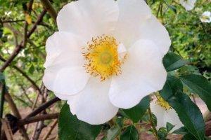 Rosa laevigata (ナニワバラ): Sp