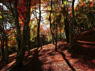 Well-maintained maple forest