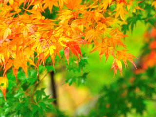 Looking around, I found brilliant leaves looking as though they were newly painted in orange