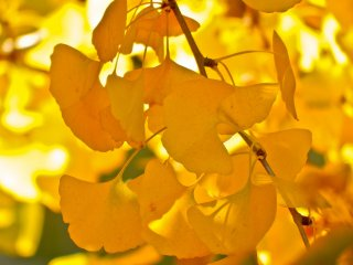 Just some of the bright yellow leaves which Yamashita Park is especially famous for