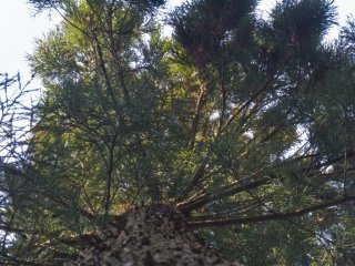 Looking up a sugi, or Japanese cedar