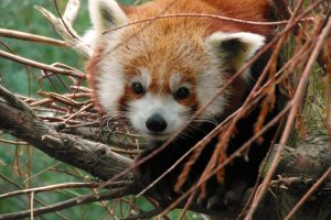 Wajah ramah si panda merah