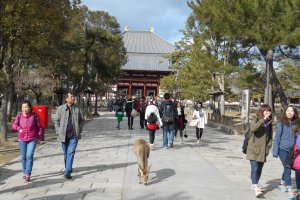 A deer on the driveway leading to Todaiji