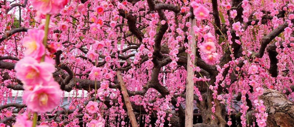 枝垂れ梅の香