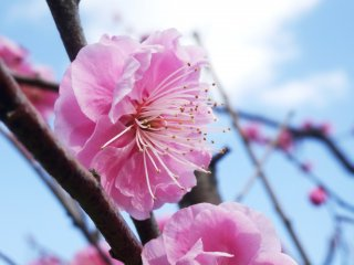 Plum blossoms come in multiple shades