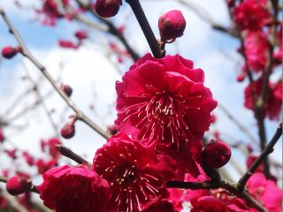 The petals of plum blossoms are rounder than cherry blossoms, yet another way to tell the two apart