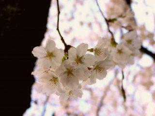 일본의 봄은 어딜 가나 벚꽃으로 가득하다.