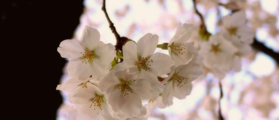 '철학자의 길'을 따라 활짝 핀 벚꽃