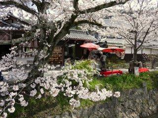 벚꽃 나무 아래 보이는 붉은 벤치와 우산 - 매우 교토다운 모습의 봄!