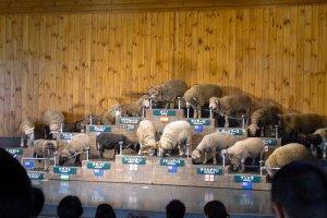 Sheep celebrities