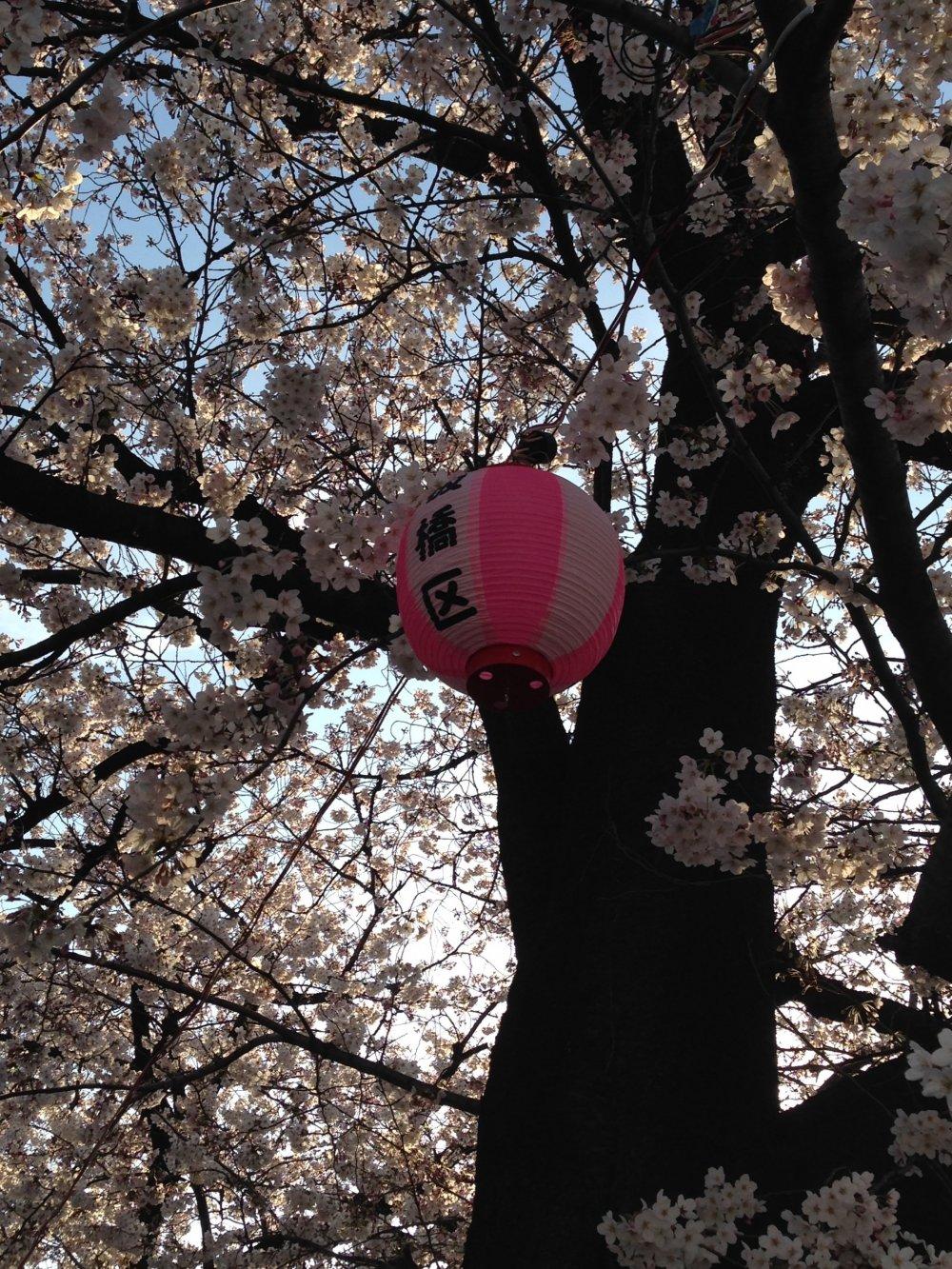 Itabashi-kulantern. The sakura are beautiful at night as well!