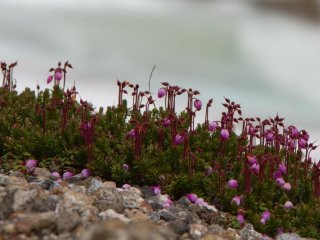 These wonderful pink flowers were just everywhere (mid June)
