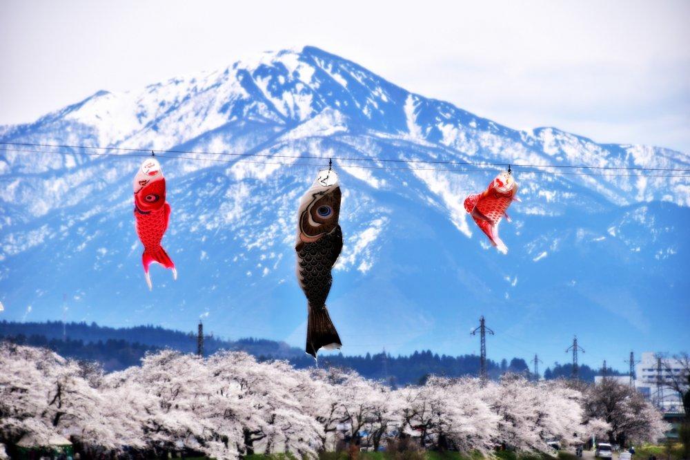 ริ้วประดับปลาคาร์ฟแกว่งไกวในสายลมพร้อมด้วยดอกซากุระและภูเขาหิมะ