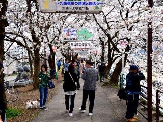 บนเส้นทางเดินเลียบแม่น้ำผู้คนกำลังเพลิดเพลินกับเทศกาลซากุร Katsuyama Benten