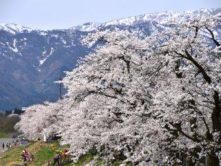 วิวอันยอดเยี่ยมของซากุระและภูเขาหิมะ