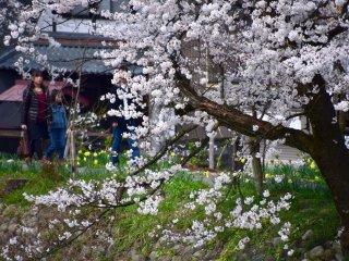 ผู้คนมาเดินเล่นชมดอกซากุระบนทางเดินเลียบแม่น้ำ