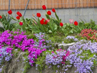 Moss phlox appears along with tulips