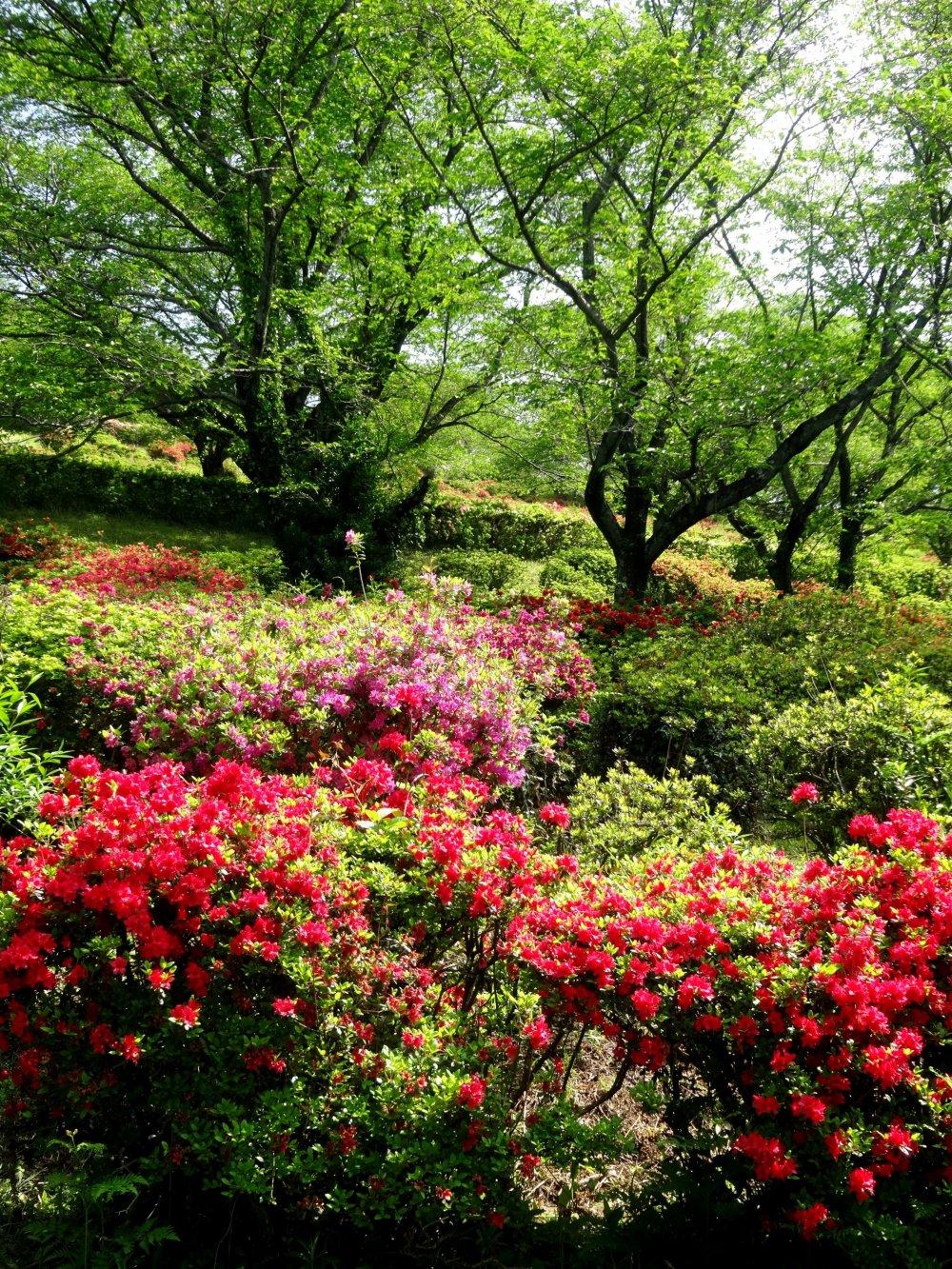 니치린사원은 천여 구루의 진달래로 이루어져 있다