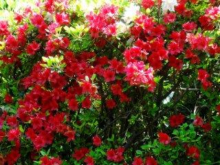 그들은 4월부터 5월 초까지 꽃을 피운다