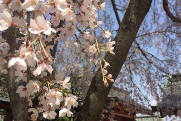 Sakura in Shiogama