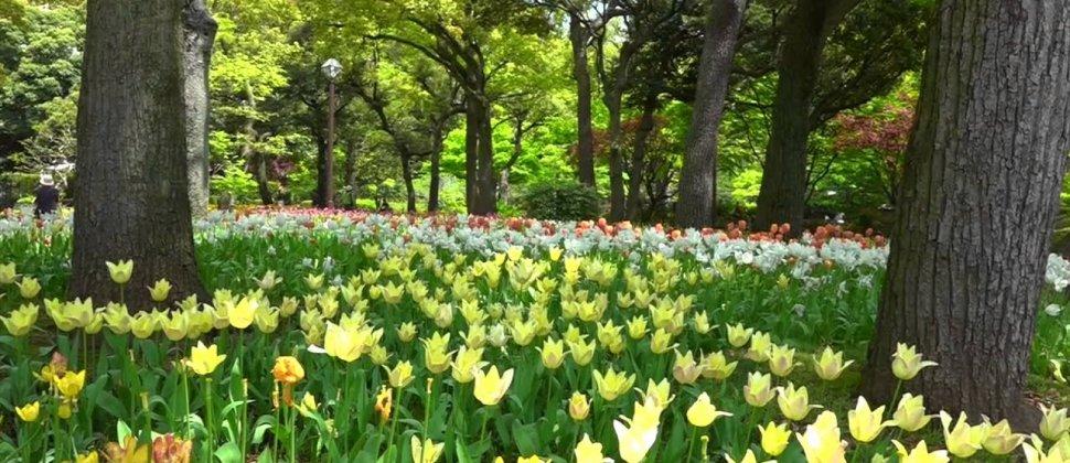 横浜:優しい風にゆれるチューリップ
