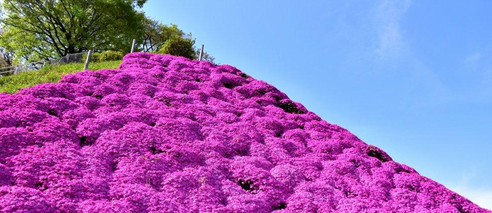 西山公園のしば桜マウンテン