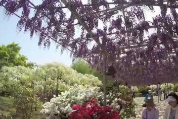 Ashikaga Flower Park and Wisteria