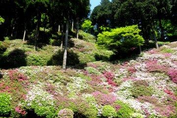 Azaleas at Daikozen Temple