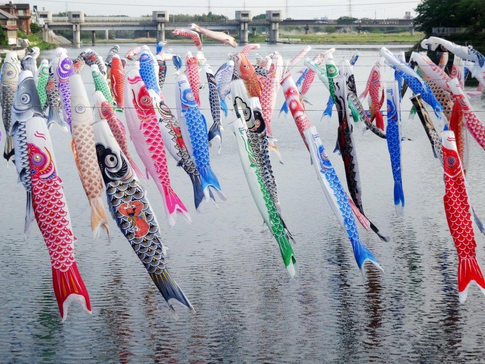 สายรุ้งประดับ ปลาคาร์พพริ้วข้ามแม่น้ำคะเสะ (Kase) ในชนบทของสะกะ (Saga)