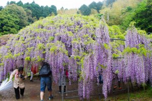 One of the wisteria domes