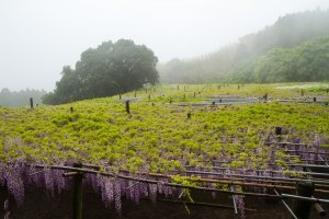 The large trellis; wisteria vines have leaves above, flowers hanging below