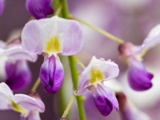 The flowers vaguely resemble orchids, but wisteria is actually a vine that's part of the pea family